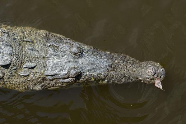 American Crocodile (Crocodylus acutus), Florida, USA