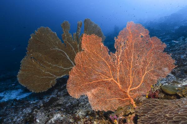 Sea Fans, Raja Ampat, Indonesia