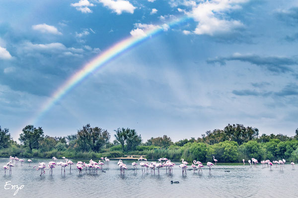 Camague - parc ornithologique camargue pont de gau - Flament rose - 030