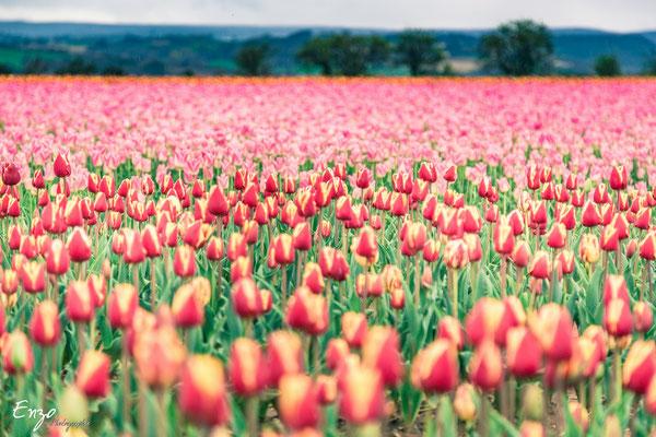 Tulipe rouge et jaune en provence