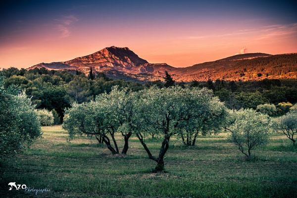 Aix en provence - Sainte Victoire - champ d'olivier au coucher du soleil - 028