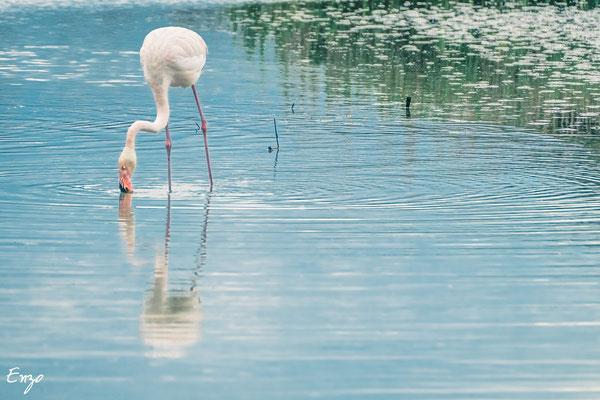 Camague - parc ornithologique camargue pont de gau - Flament rose - 032