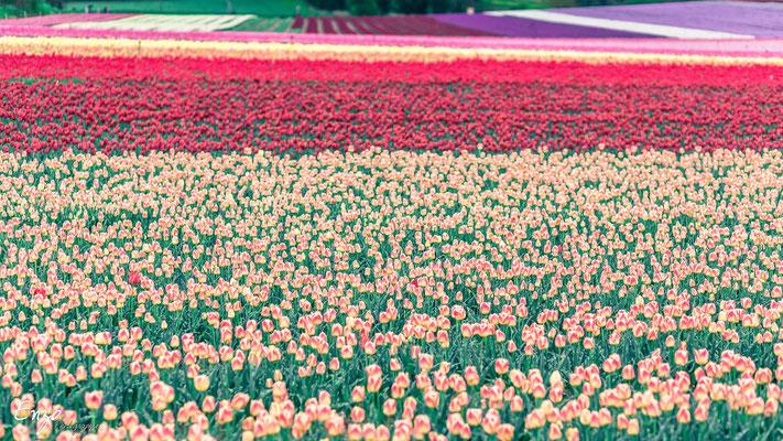 Champs de tulipe en provence