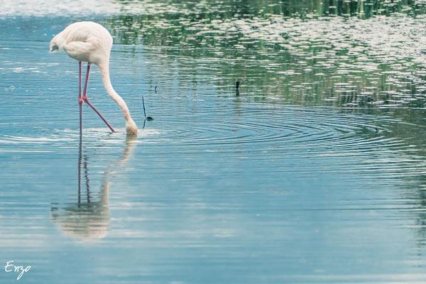 Camague - parc ornithologique camargue pont de gau - Flament rose - 031