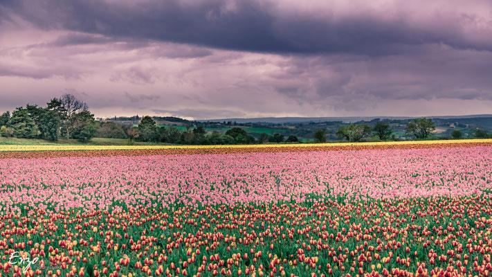 tulipe en provence