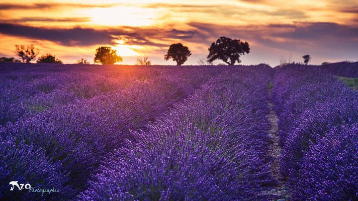 Photographie d'un champs de lavande en provence à Valensole - Champs de Lavande - Enzo Fotographia - Enzo Photographie