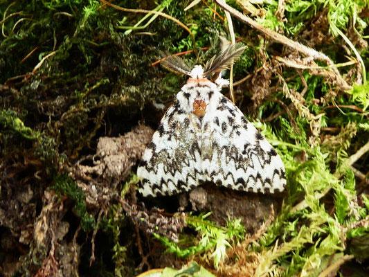 Nonne (Lymantria monacha)