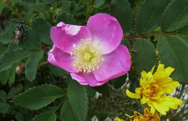 Alpen-Hagrose=Rose ohne Dornen (Rosa pendulina)