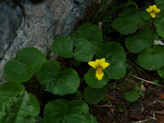 Gelbes Bergveilchen (Viola biflora)
