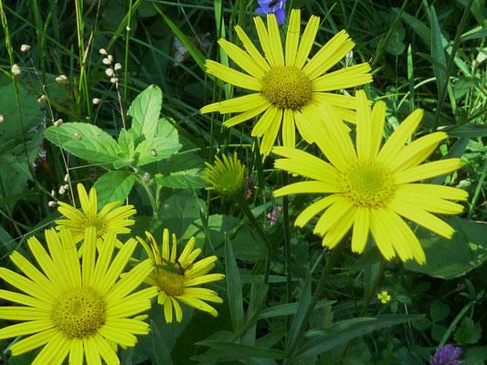 Weidenblatt-Ochsenauge (Bufthalmum salicifolium)