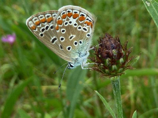 Hauhechelbläuling (Polyomatus icarus) - Weibchen