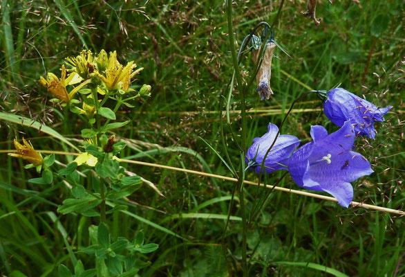 Gemeines Johanniskraut (Hypericum perforatum) und Scheuchzers Glockenblume (Campanula Scheuchzeri)