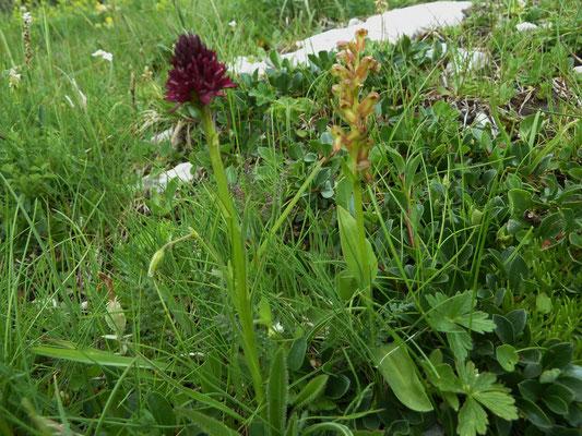 Kohlröserl (Orchidee) und Grüne Hohlzunge (Orchidee)