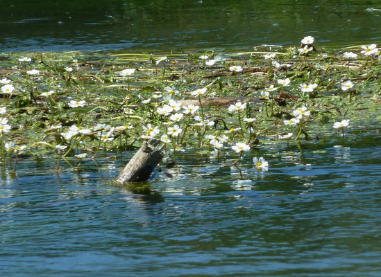 Flutender Hahnenfuß (Ranunculus fluitans)