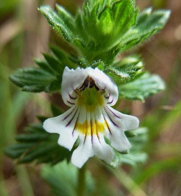 Berg-Augentrost (Euphrasia montana)