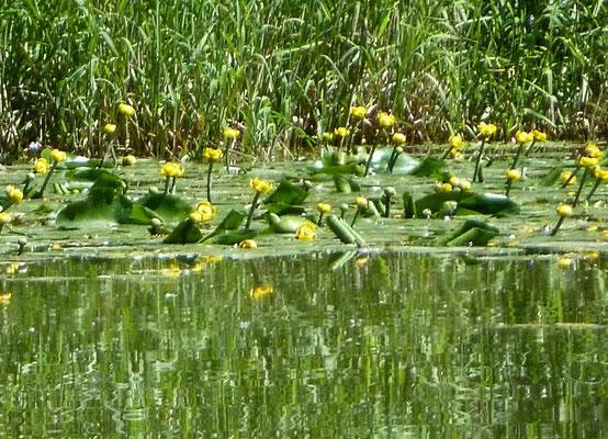 Teichrose (Nuphar luteum)
