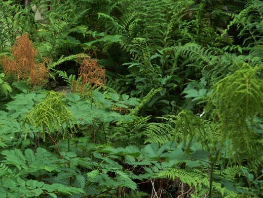 Wald-Geißbart (Aruncus sylvester) - verblüht / braun: männlicher Blütenstand