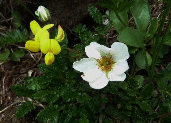 Hornklee (Lotus corniculatus) und Silberwurz (Dryas octopetala)