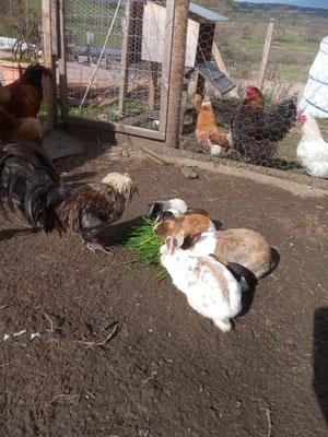 Lapin - cochon d'inde - coq partagent le même repas