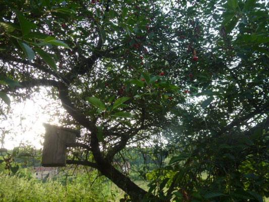 Belle récolte de cerise