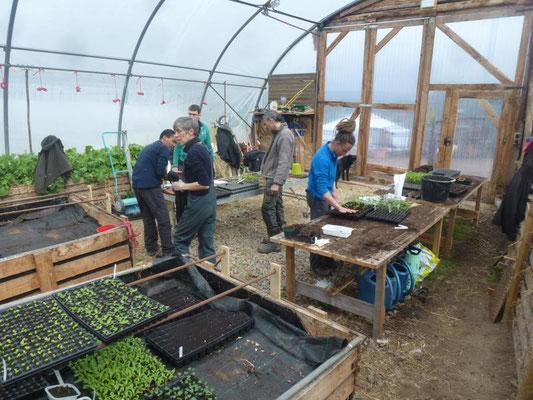 Les stagiaires rempotent les semis de tomates