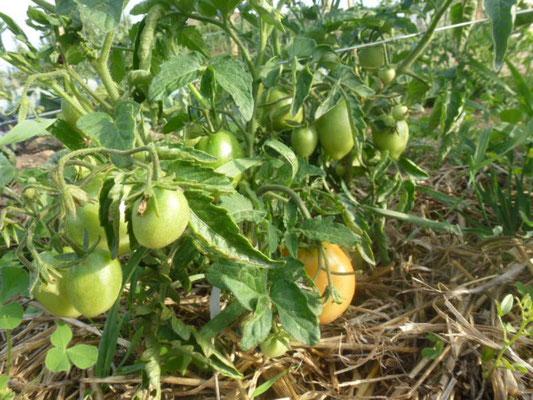 Les tomates arrivent!