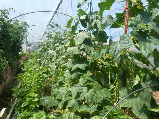 les concombres et le basilic en pleine santé