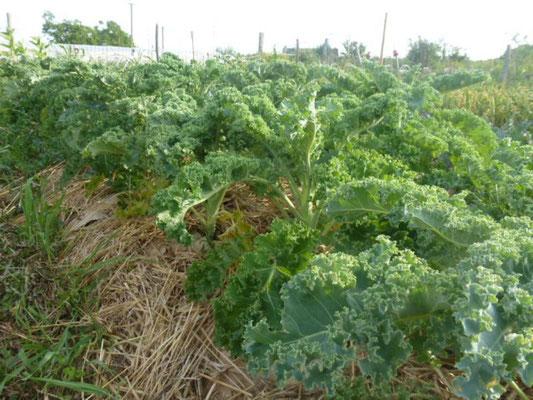 Les choux kale sur carton (pour éviter de désherber) poussent bien