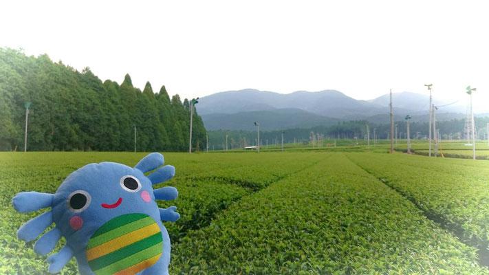 お茶の野本園 お茶畑