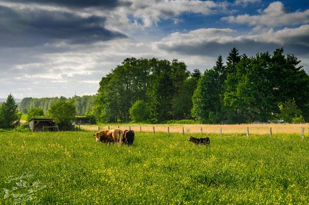 Auf einer Weide zwischen Bornberg und Laumühlen