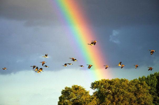 Wildgänse im Regenbogen