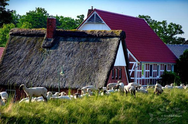 20200608-5326 Schafe auf dem Bentwischer Deich