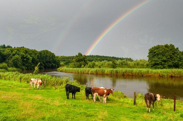 Rinder im Außendeich