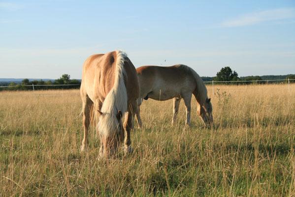 Pferde auf der Sommerkoppel
