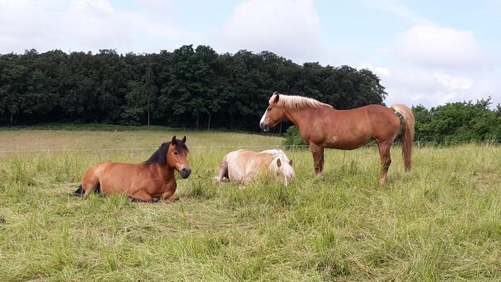 Pferde beim Schlafen und Entspannen
