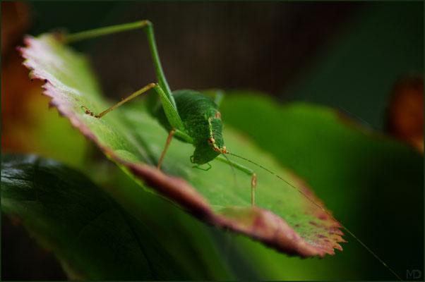 bush grashopper