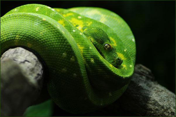 grüner Baumpython 2