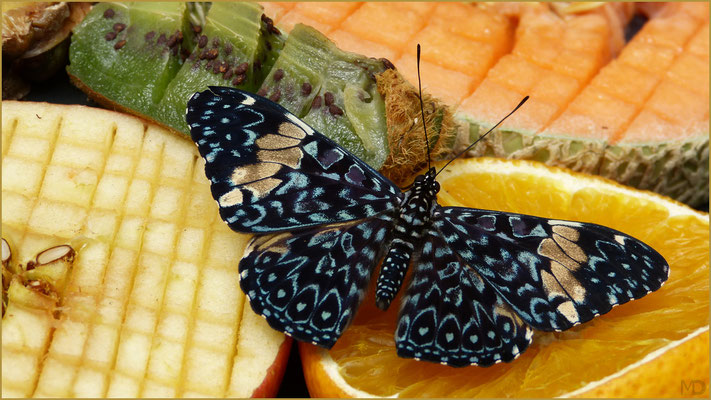 blue mosaic butterfly