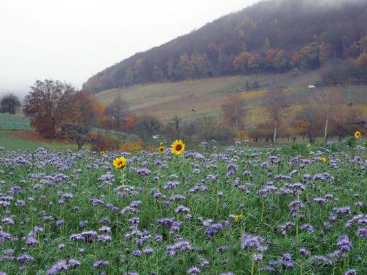 Phacelia, Sonnenblumen