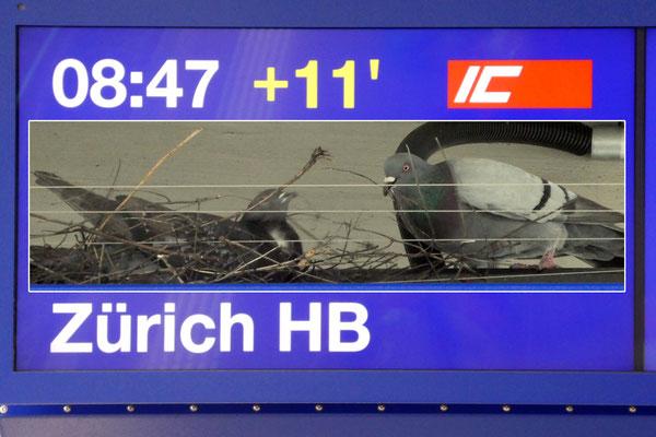 Schaffhausen Verspätung, Taubennest