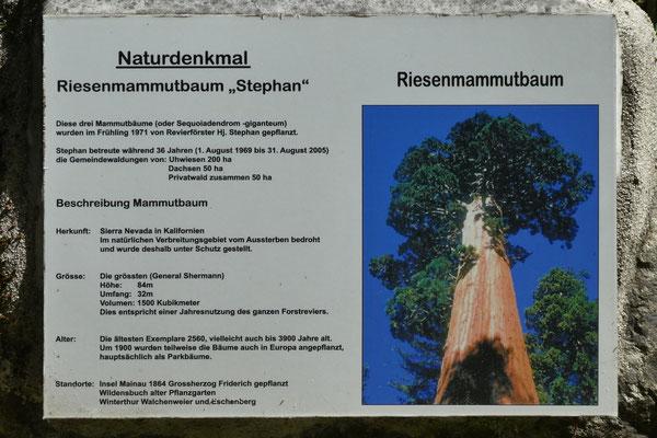 Riesenmammutbaum-Infotafel