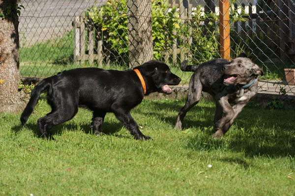 Guter Sozialkontakt mit anderen Hunden jeden Alters, Größe & Rasse ist nicht nur für Welpen ganz wichtig, Foto: Hans Sennebogen