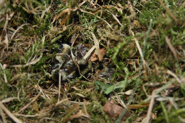 Nest der Bunthummel am Boden im Moos  Foto: S. Holmgeirsson