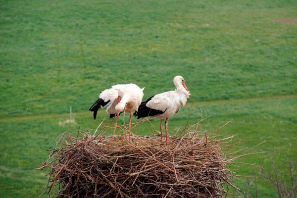 Glückliches Paar (rechts der Storch mit dem Ring)