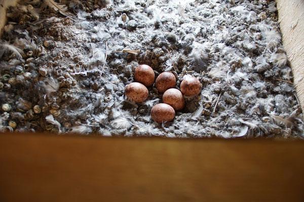 Turmfalkennest, kurz unbeaufsichtigt, mit sechs Eiern