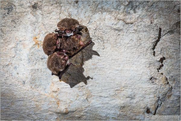 Fransenfledermäuse (Myotis nattereri)