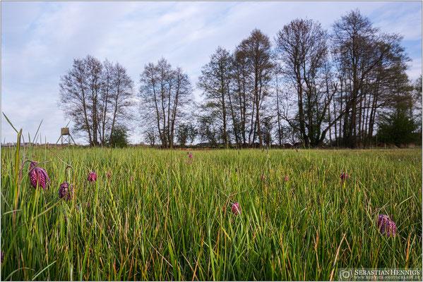 Schachbrettblumenwiese bei Ziesar