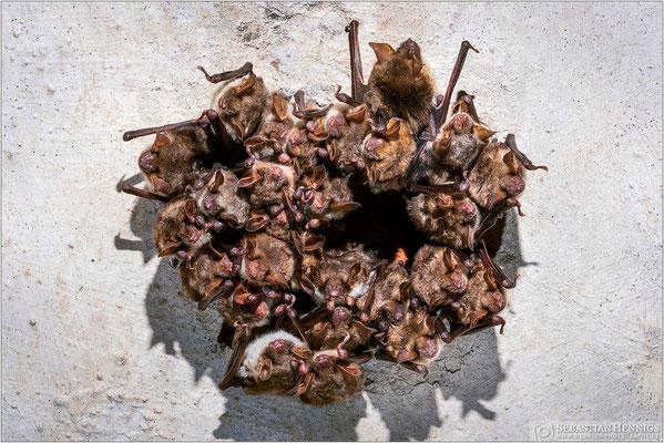 Großer Cluster des Großen Mausohrs (Myotis myotis)