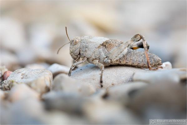 Gefleckte Schnarrschrecke, Larve