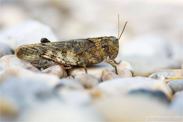 Gefleckte Schnarrschrecke
